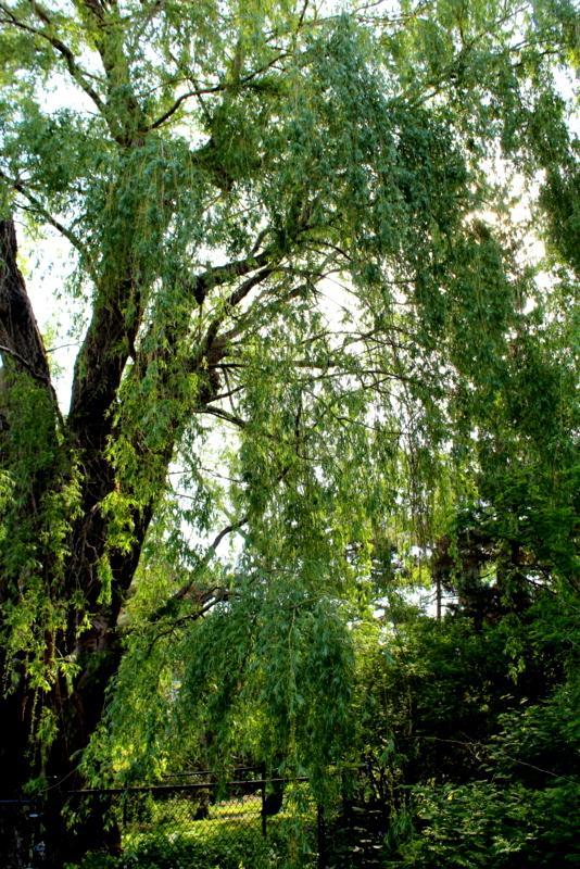Ashbridge Estate willow  by Diane Walton