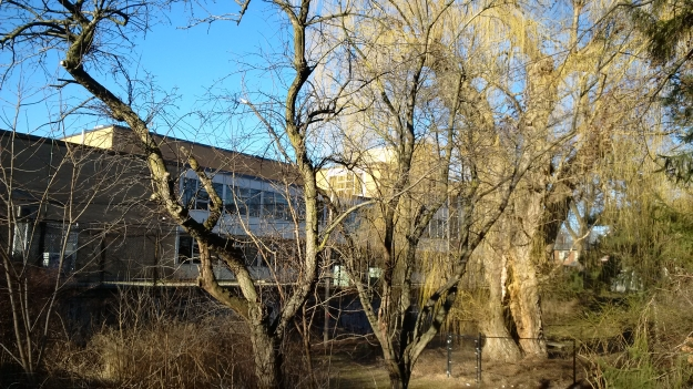In March 2016 the giant willow was showing deterioration in its trunk. Looking north to Duke of Connaught School from the back yard of the Ashbridge Estate.