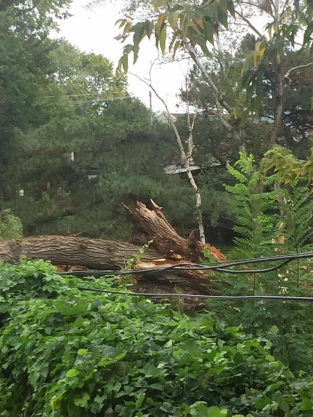 2016-09-29-ashbridge-estate-willow-tree-down1